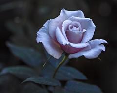 2018 Autumn rose (shinichiro*) Tags: 20181102sdim6778 2018 crazyshin sigmasdquattroh sdqh sigma1770mmf284dcmacrohsm october autumn yokohama 横浜イングリッシュガーデン rose flower macro 45738189062 3966937 201811gettyuploadesp