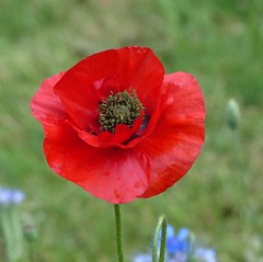 100 Years of Armistice, why not worldwide? (Marit Buelens) Tags: red green klaproos papaver poppy remembranceday armistice 11november wapenstilstand peace vrede paix frieden flanders flandersfields belgium belgië 100years