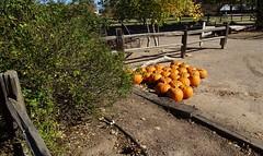 110618-50, Punkins (skw9413) Tags: albuquerquebiopark botanicalgardens pumpkins