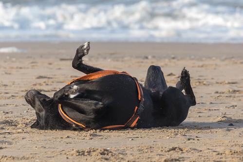 Schwarzer Hund wälzt sich genüsslich im Sand vor dem Meer