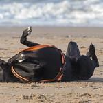 Schwarzer Hund wälzt sich genüsslich im Sand vor dem Meer thumbnail