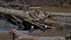 Eagles on the Nooksack (shesnuckinfuts) Tags: americanbaldeagle baldeagle haliaeetusleucocephalus nooksackriver whatcomcounty washingtonstate shesnuckinfuts december2018 nature eagle spawningsalmon wildlife birds