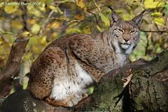 Lynx - Eurasischer Luchs (Noodles Photo) Tags: raubtiere carnivora katzenartige feloidea katzen felidae kleinkatzen felinae luchse lynx lynxlynx eurasischerluchs zooduisburg zoo duisburg nrw nordrheinwestfalen northrhinewestphalia deutschland germany canoneos7dmarkii tamronsp150600mmf563divcusdg2 cat