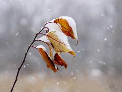 first snow (marianna_armata) Tags: first snow winter fall autumn macro bokeh morganarboretum montreal quebec canada mariannaarmata leaves branch