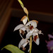 Coelogyne barbata – Carl Wood