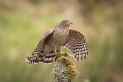 Female Sparrowhawk (cazalegg) Tags: sparrowhawk dumfriesshire scotland woodland forest bird prey wildlife