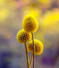 Hello Sunshine (barbara_donders) Tags: natuur nature flowers bloemen bollen spheres three drie bokeh macro geel yellow magisch magical beautiful mooi prachtig