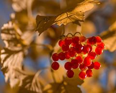 Guelder rose with red berries (hjuengst) Tags: ahornbaum rotebeeren redberries redrossorougerood autumn herbst herbstfarben fall rotrossorougerood guelderrose gewöhnlicherschneeball viburnumopulus