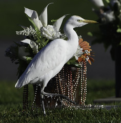 Mardi Gras! (soquel girl) Tags: cattleegret brightcolorbackdrops saturatedcolorswithbirds whiteegretswithbrightcolors egrets cemeterycolors