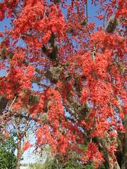 Barnebydendron riedelii (wallygrom) Tags: cuba jibacoa santaclara cheguevara fabaceae barnebydendronriedelii