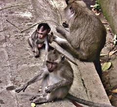INDONESIEN, Bali ,unterwegs in Ubud , im Affenwald, 17924/11144 (roba66) Tags: bali urlaub reisen travel explore voyages rundreise visit tourism roba66 asien asia indonesien indonesia insel island île insulaire isla ubud affenwald padangtegal monkeyforest monkey affen javaneraffen makaken macaca wild macaque tier tiere animal animals creature baboon