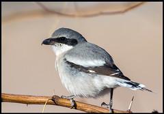 Loggerhead Shrike (Ed Sivon) Tags: america canon nature lasvegas wildlife western wild southwest desert clarkcounty vegas flickr bird henderson nevada preserve