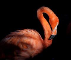 The Artistic Flamingo (Darts5) Tags: florida flamingo pinkflamingo pinkflamingos flamingos bigbird bird birds wadingbird wading wadingbirds animal nature 7d2 7dmarkll 7dmarkii 7d2canon ef100400mmlll closeup canon7d2 canon7dmarkll canon7dmarkii canon canonef100400mmlii