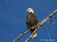 bald eagle (Pattys-photos) Tags: bald eagle idaho pattypickett4748gmailcom pattypickett