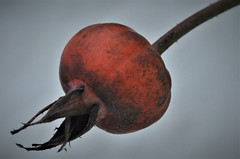 Almost the final stage (wilma HW61) Tags: rozenbottel rosehip rosemusquée anca vrucht frutta fruits product macro closeup rood red natuur nature natur naturaleza nederland niederlande netherlands nikond90 holland holanda paysbas paesibassi paísesbajos europa europe outdoor wilmahw61 wilmawesterhoud