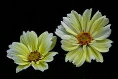 Two sisters (prokhorov.victor) Tags: цветок цветы растения флора сад природа лето макро космея