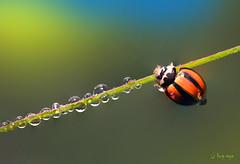 Miss Lady Beetle #2 (bug eye :) Thailand) Tags: macro closeup insect beetle ladybeetle morning dew drop droplets nature wildlife animal