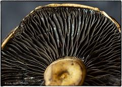 Mushroom Detail (scottnj) Tags: 365the2019edition 3652019 day30365 30jan19 scottnj scottodonnellphotography mushroom macro 365project nature natural