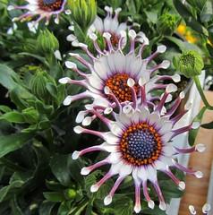 Flower (Hugo von Schreck) Tags: hugovonschreck flower blume blüte canonpowershotsx210is onlythebestofnature
