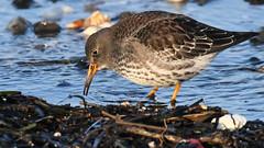 having a snail (k-g kirstein) Tags: nature wild wildlife europe baltic beach sea coast northsea bird birds wader