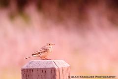 Early Morning Pipit-1407 (alankrakauer) Tags: ptisabel sfbay sfbayarea eastbay christmasbirdcount pipit sunrise