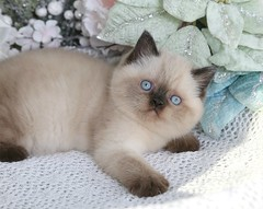 Cute Kitten Pics (dollfacepersiankittens.com) Tags: himalayan himalayans kittens himmy himi exoticshorthairpersiancat exoticshorthairpersiankitten blue eyes doll face persian luxury persians for sale dollface catsofinstagram catstagram catsofgoogle catsoftheworld caturday