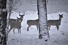 The Herd (rsedrel) Tags: omaha nebraska white tail deer chalco wehrspann lake snow trees herd