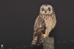 Short-eared Owl - Coruja-do-nabal (anpena) Tags: birds birdsofprey owls shortearedowl