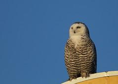 Snowy owl...#6 (Guy Lichter Photography - 4.4M views Thank you) Tags: canon 5d3 canada manitoba wildlife animal animals bird birds owl owls snowyowl