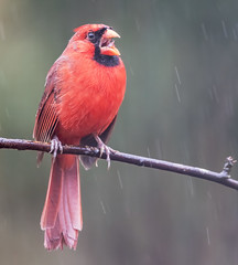 Mouth Wide Open (Yer Photo Xpression) Tags: 2018 animal bird forsyth georgia ivyshaw northerncardinal fantasticnature ronmayhew canoneos6dmark2 coth coth5