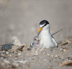 Beach Baby (Kathy Macpherson Baca) Tags: bird aves animal world beach feathers leastterns endangered ocean fly migrate eggs chick planet nest bays inlets nature wildlife