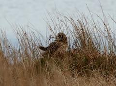 IMG_9957 (monika.carrie) Tags: monikacarrie wildlife seo shortearedowl forvie scotland owl