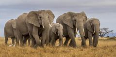 _A130106 (BergsPix) Tags: elephants africa kenya safari amboseli masaai mara samburu tusks mammals