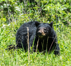 DSC_5021 (TDog54Photography / TCS Photography) Tags: black bear bears smoky mountains tennessee cades cove wildlife wild life animal american north america ursus americanus animals forest national park great