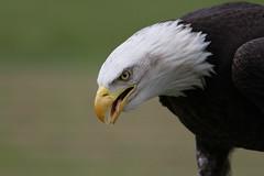 IMG_1453 (Stefan Kusinski) Tags: hemsley duncombe ncbp birdofprey