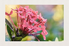 LIFE OF ITS OWN (bargascaroline) Tags: flower focus color garden bokeh dof photography nature nikon beauty moment mood myview red lens yourshot myclick naturehippys photo image love everyday