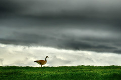 Canada Goose (ronniegoyette) Tags: birds clouds canadagoose