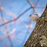 Nuthatch Keeping a Close Eye on Me thumbnail