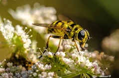 Hover fly (Andi Fritzsch) Tags: hoverfly macro macrophotography insect insectphotography closeup closeupphotography nature naturephotography fly flowers flowercolors flowerpower