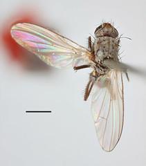 Aricia macula Zetterstedt, 1845 (Biological Museum, Lund University: Entomology) Tags: zetterstedt diptera anthomyiidae aricia macula delia florilega mzlutype00487 taxonomy:binomial=ariciamacula
