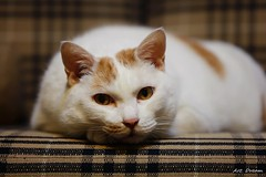 _01A2633 (Dream Delivered (Dreamer.Thanks for +6.000.000 vi) Tags: cat animal portrait