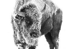 -12 Degrees American Bison (Bernie Duhamel) Tags: americanbison cold snow frontrange greatphotographers teamsony rockymountains colorado coloradowildlife wildlife bernie duhamel sonya9 sonyfe100400mm rockymountianarsenalnationalwildliferefuge commercecity blackwhite snowy winter frost frigid ice