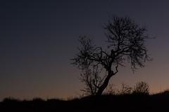 L'hora Blava | La hora azul (Ramon Oromí Farré @sobreelterreny) Tags: altet tàrrega urgell plansdeconill catalunya españa es arbres árbol árboles arbre tree trees horablava horaazul heurebleue crepúsculo llum luz light claror claridad bluehour twilight matinada madrugada jasurtelsol albada aurora albor morning hivern invierno winter dia day amanecer outdoor pelscamins contraste contrast sky cel cielo nikon nikkor d7100 tamron lesobagues clotdelluçà llieida provínciadelleida planadelleida catalonia catalogne cataluña sunrise sortidadelsol desembre diciembre december