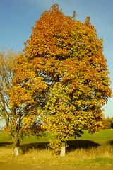 В осенней позолоте / In autumn gold (Владимир-61) Tags: осень октябрь природа дерево листва небо желтый зеленый синий autumn october nature foliage yellow green blue sony ilca68 minolta28135