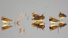Lapwing Group (marksargeant57) Tags: wader wadingbird canonpowershotsx60hs rspb framptonmarsh rspbframptonmarsh peewit greenplover lapwing