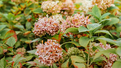 22.09.2018 (Fregoli Cotard) Tags: hydrangea dalie hortensie flowers floral floralinspo flowersoffickr dried autumn is coming 264365 264of365 dailyjournal dailyphotography dailyproject dailyphoto dailyphotograph dailychallenge everyday everydayphoto everydayphotography everydayjournal aphotoeveryday 365everyday 365daily 365 365dailyproject 365dailyphoto 365dailyphotography 365project 365photoproject 365photography 365photos 365photochallenge 365challenge photodiary photojournal photographicaljournal visualjournal visualdiary