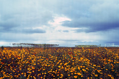 Tagetes (Ernst-Jan de Vries) Tags: tagetes afrikaantjes landbouw landscape orange film 120 mediumformat kodakektar mamiya mamiyam6451000s sekorc45f28