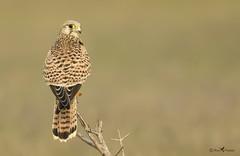 Common Kestrel (arunprasad.shots) Tags: kestrel chennai nikon perch bokeh bird ngc explore birdsofindia birding grassland