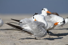 Forster's Tern (sarasonntag) Tags: outdoor beach sand forsters tern september summer 2018 cape may new jersey bird coastal eastern seaside saltwater