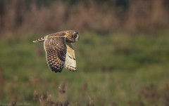 Short Eared Owl - (Asio flammeus) - 'Z' for zoom (hunt.keith27) Tags: talons bird feathers wings quartering asioflammeus shortearedowl owl eyes beautiful magnificent medium sized owls pale underwings yellow mammals especially voles animal canon grass sky somerset 600mm